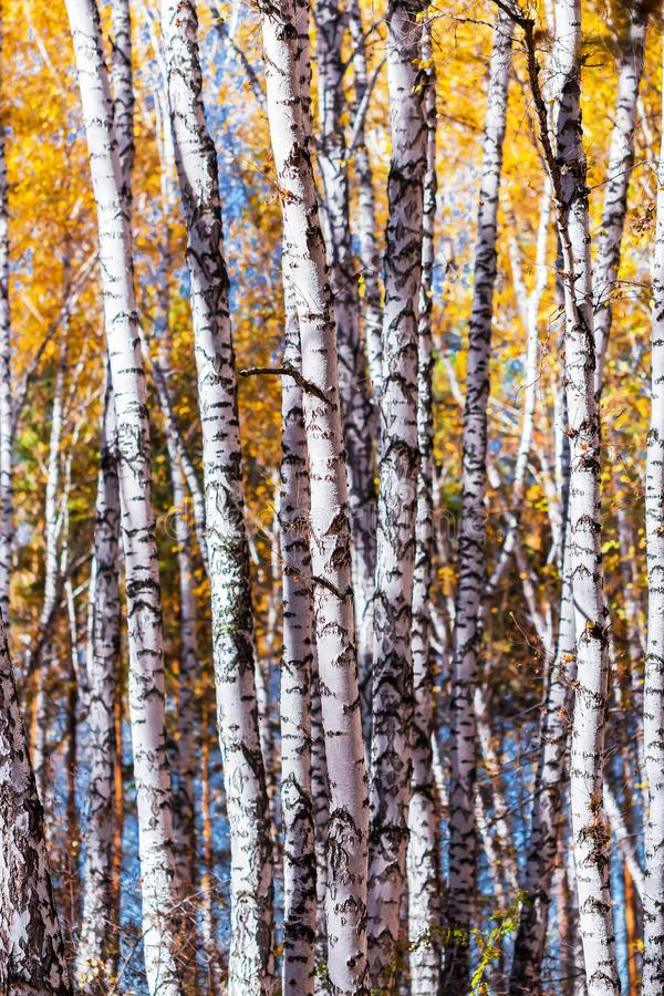 Autumn landscape. Trunks of young birches royalty free stock photos