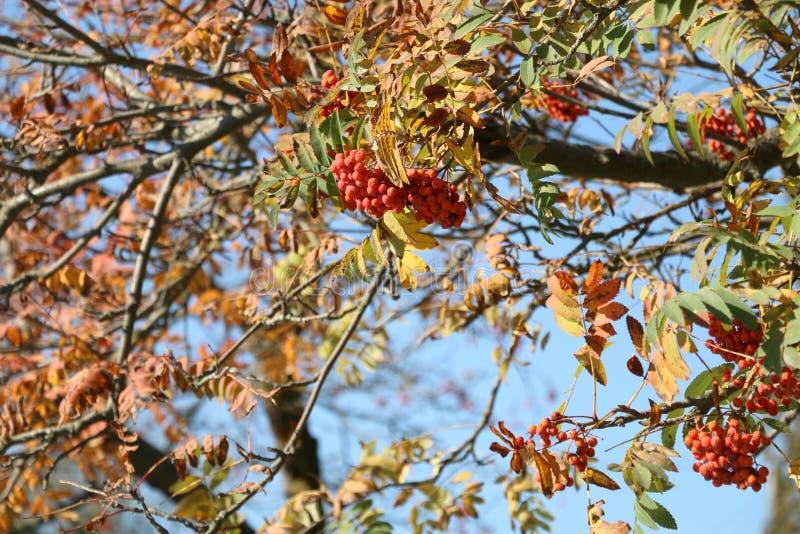 Autumn Landscape Un monticello rosso della sorba su un albero Autumn Leaves Oro e foglie rosse su un albero La sorba sui preceden fotografia stock libera da diritti