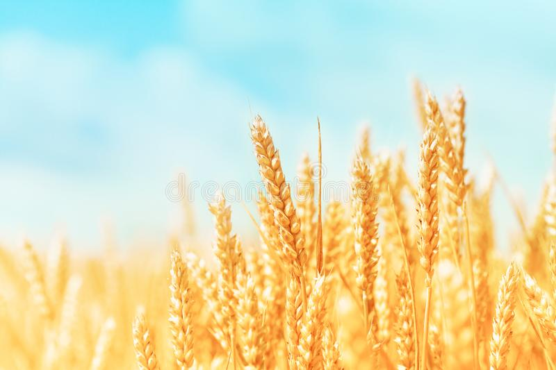 Autumn landscape of wheat field. Beautiful ripe organic ears of wheat during harvest against blue sky.  royalty free stock photo