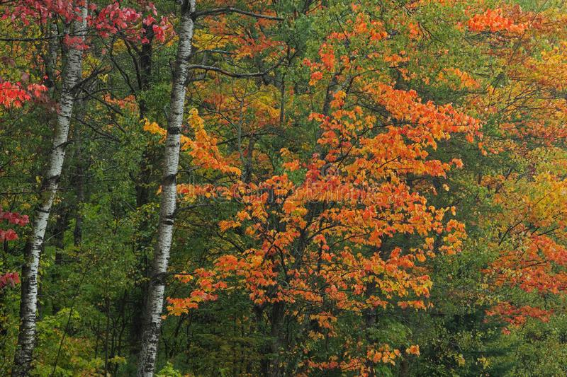 Autumn Forest with Maples and Aspens stock image