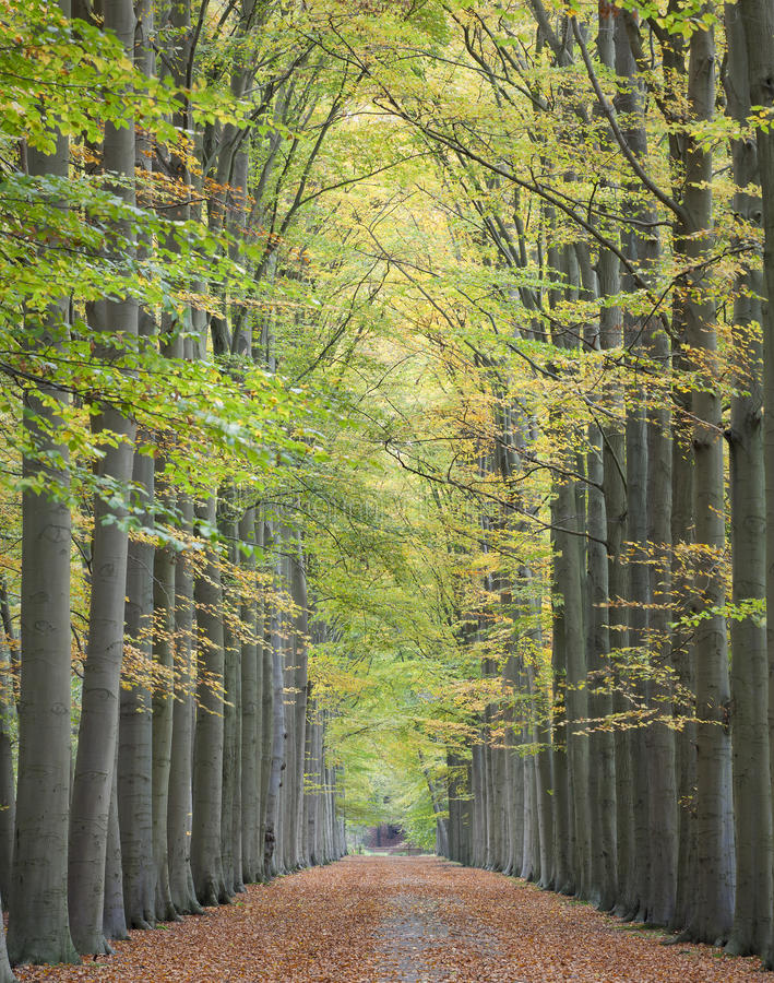 Autumn lane. Beautiful lane with tall trees on both sides of the pathway in autumn, leading to a colorful and symmetrical composition stock photos