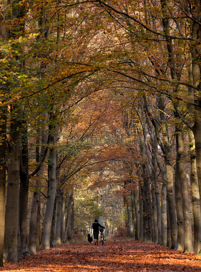 Autumn lane. Unrecognizable woman walking her dog in a symmetrical composition of an beautiful lane in the woods with the autumn trees coloring red stock images