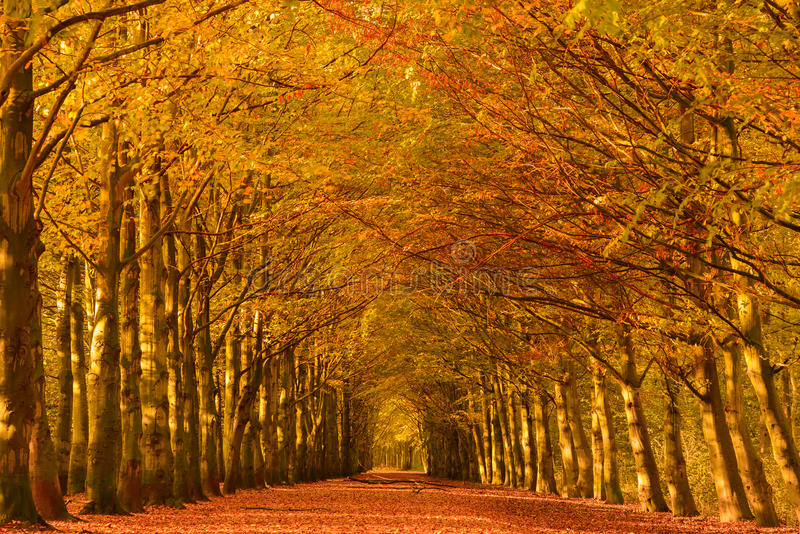 Autumn lane. Lane through the beech trees in a forest in autumn colors with fallen leaves on the ground stock images