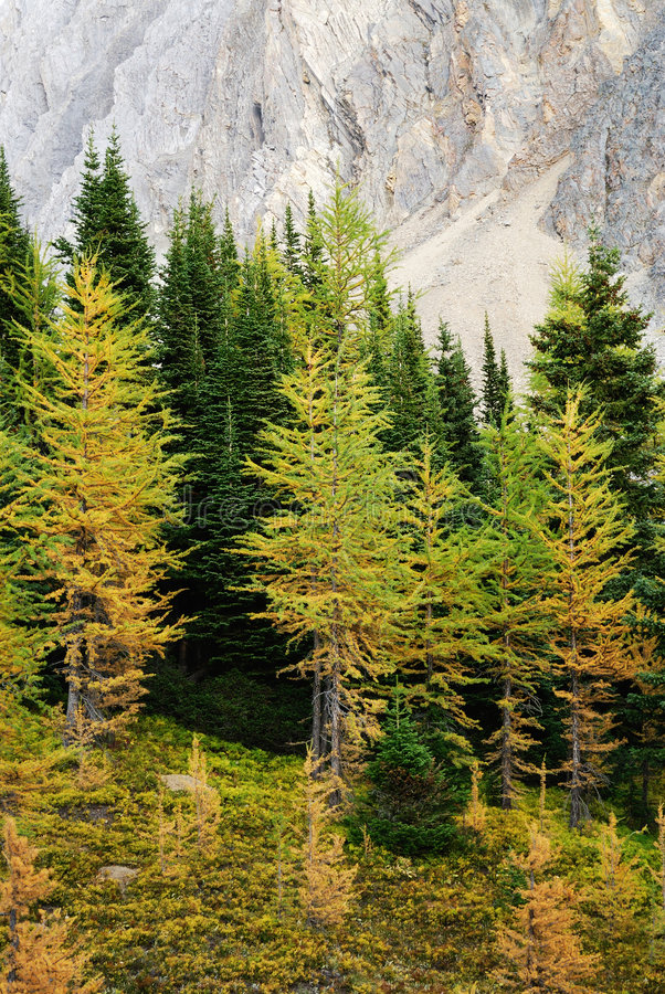 Autumn larch forest royalty free stock images