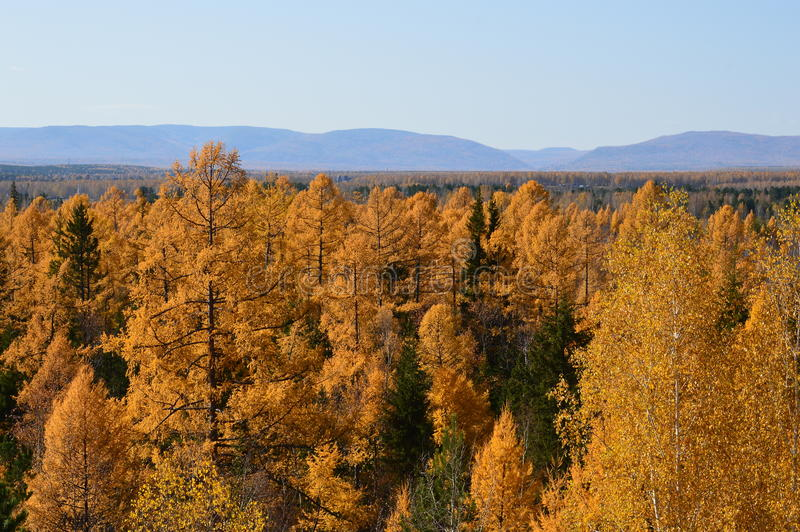 Autumn larch. royalty free stock images