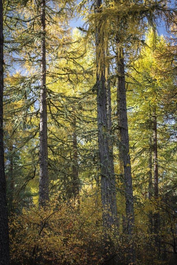 Autumn Larch na floresta de Torbreck nas montanhas de Escócia imagem de stock