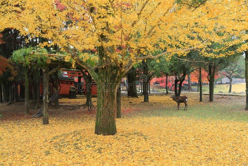 Autumn Laves in Nara Park stock fotografie
