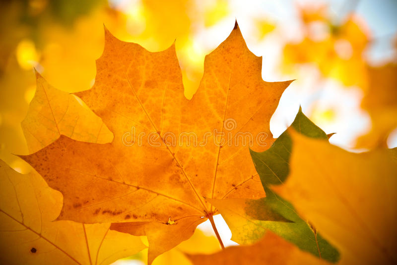 Autumn leaf. A yellow autumn leaf during the season stock images