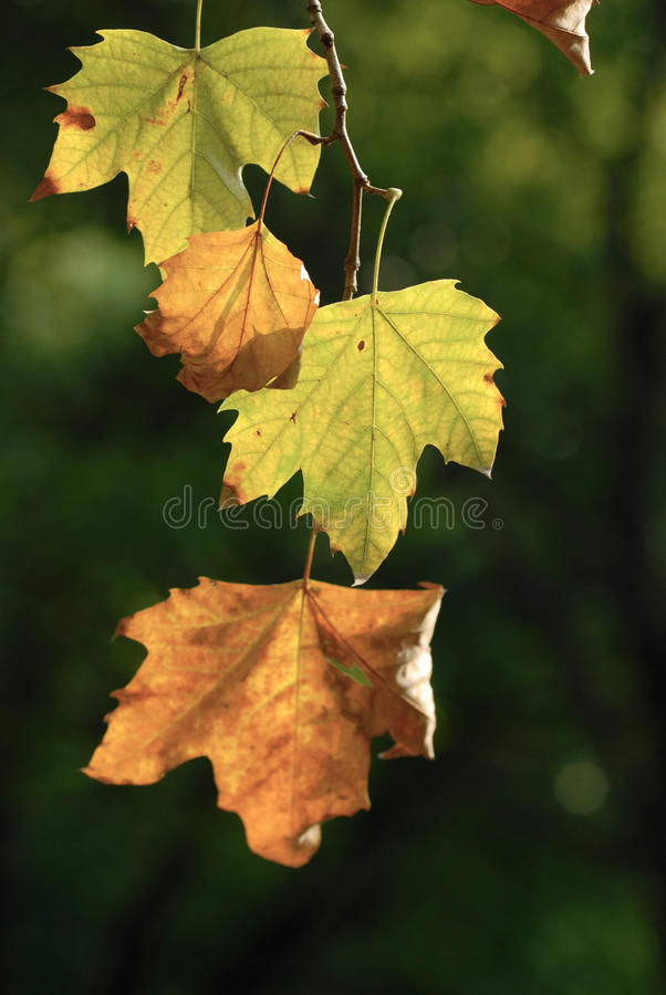 Free Autumn Leaf Stock Images - 14166334