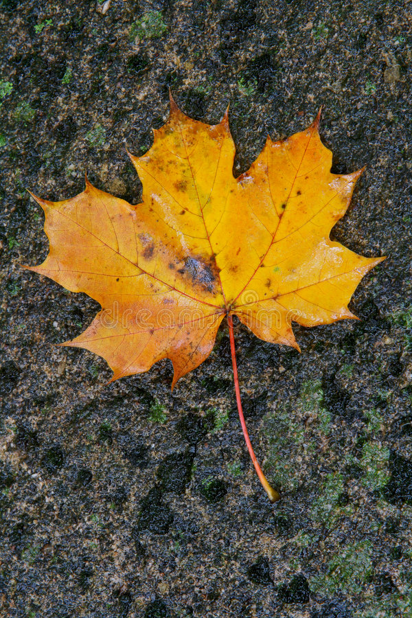 Download Autumn leaf stock photo. Image of november, north, fall - 1417182