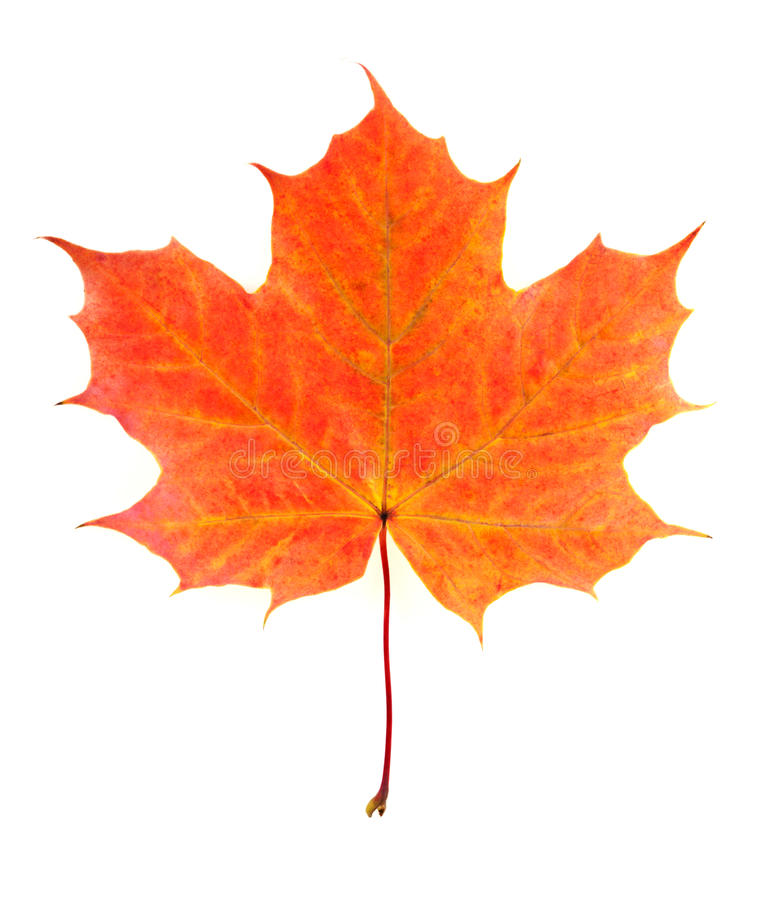 Autumn leaf. Maple autumn leaf isolated on white background royalty free stock photography