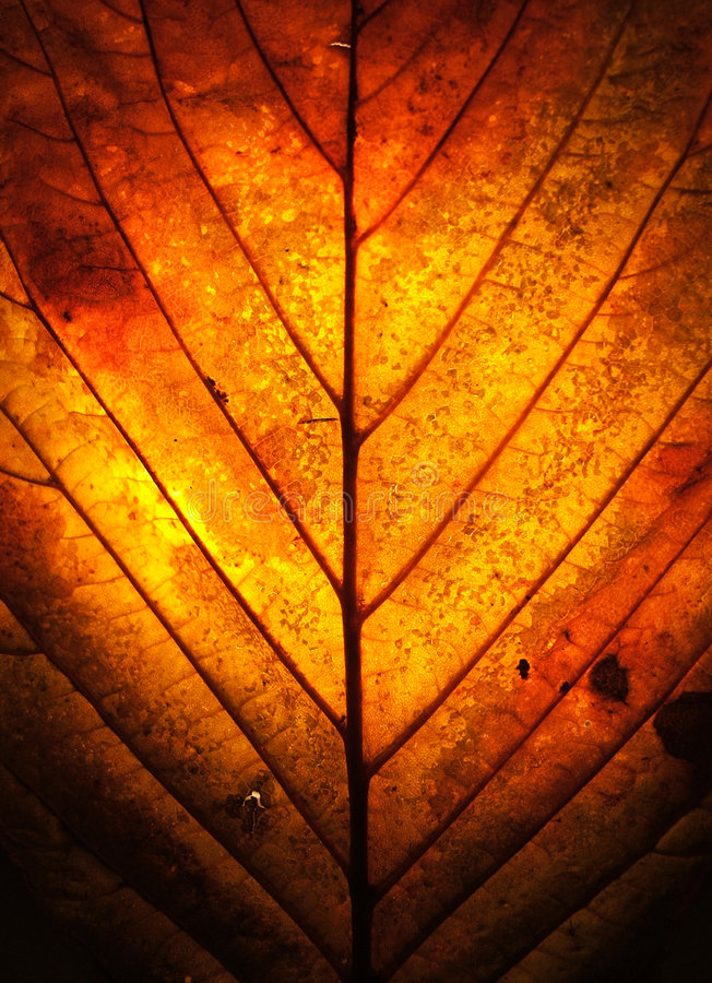 Autumn Leaf. Looking through the window of an autumn leaf, warm with golden colours, it's structure bold and strong royalty free stock images
