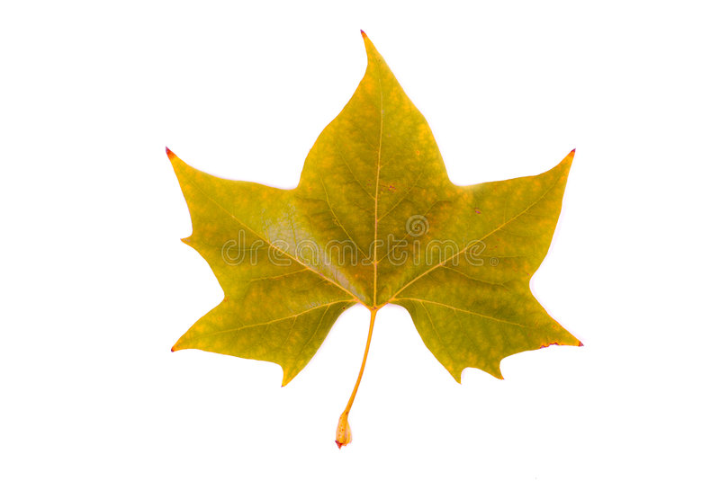 Download Autumn leaf stock photo. Image of green, vein, yellow - 7167716