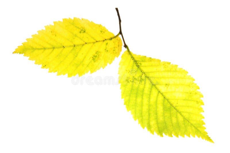 Autumn leaf of Alder Tree. Isolated on white stock image