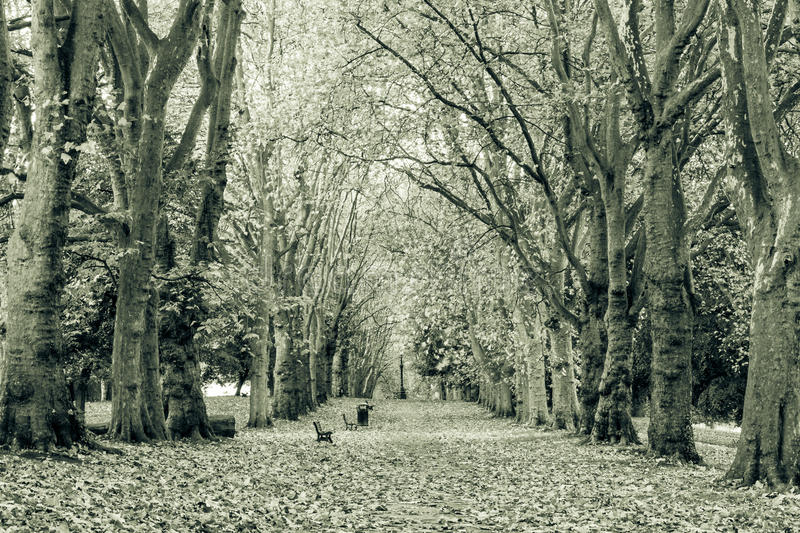 Autumn leaf avenue black and white photography. Captured at St George Park in Bristol England split toning royalty free stock photo