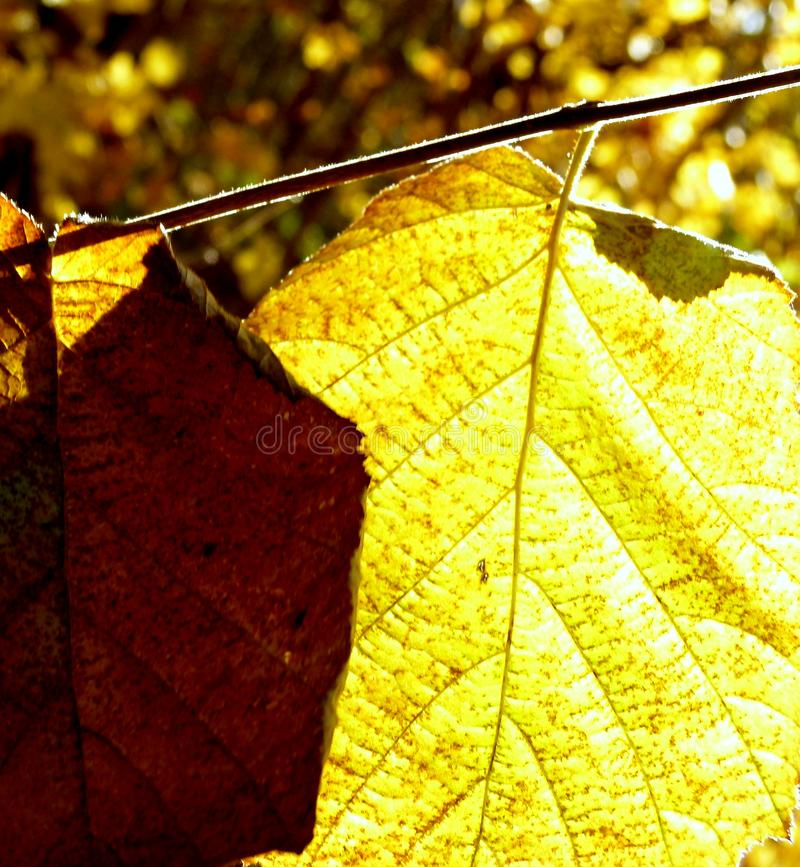 Autumn leaf on the branch illuminated by the sun stock image