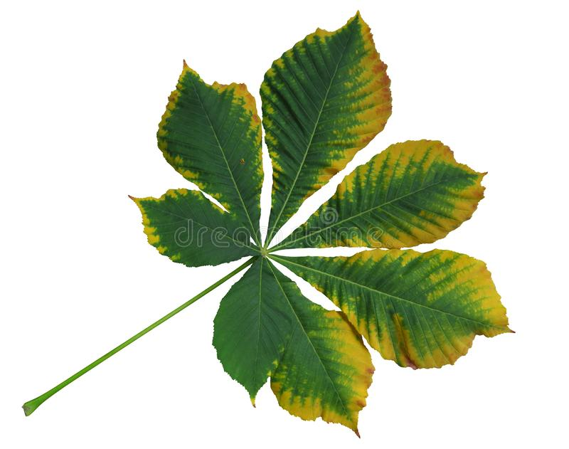 Autumn leaf of chestnut royalty free stock photography