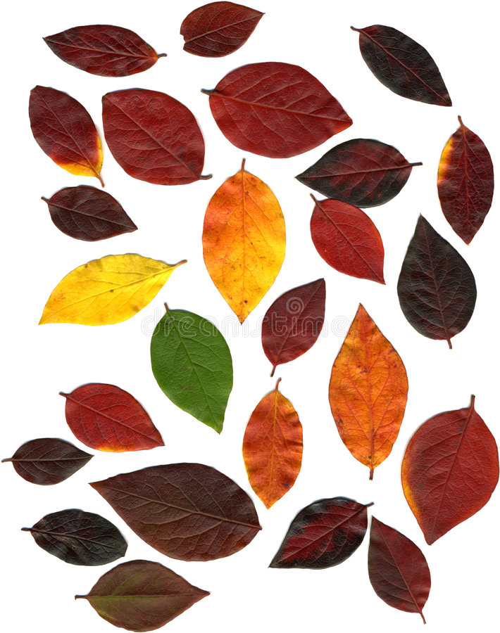 Autumn Leaf Collection XXL. Assorted autumn leaves in various colours, ranging from green through red to yellow royalty free stock photography