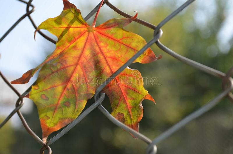 Autumn leaf. Colorful leaf in autumn season royalty free stock photography