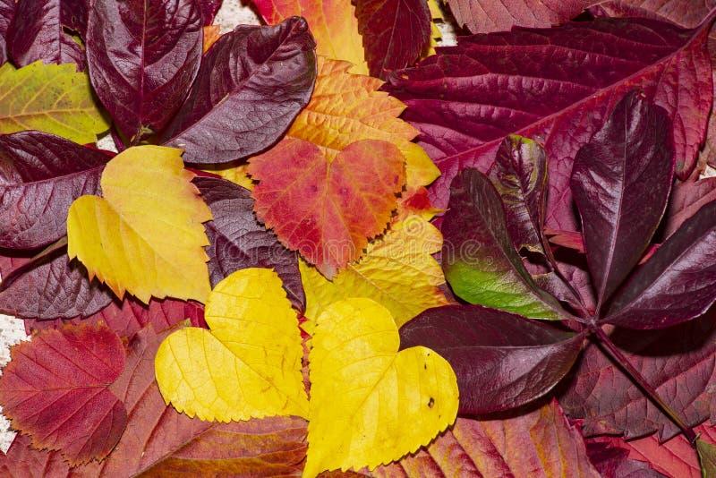 Autumn Leaf Composition Est?dio disparado no fundo de madeira Folhas de outono coloridas em um fundo branco Fundo do outono fotos de stock royalty free