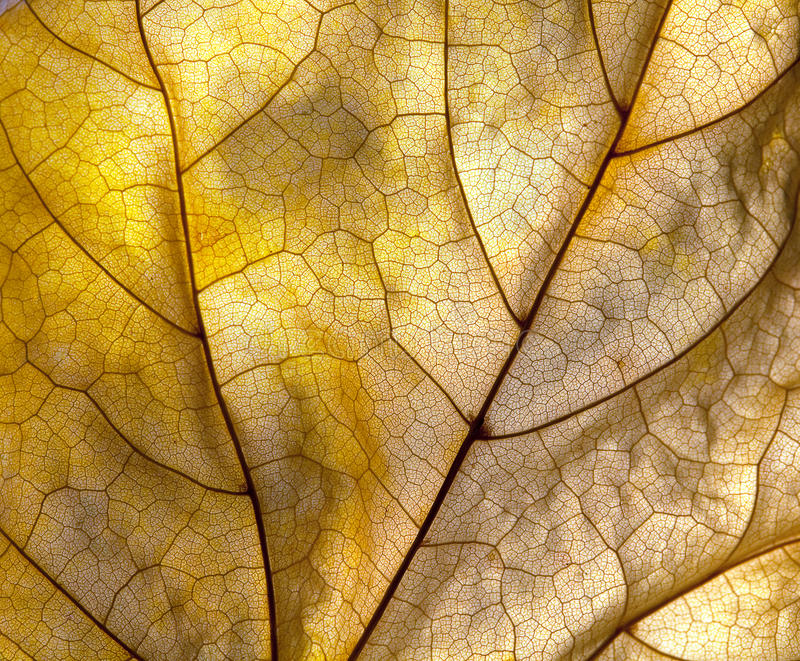 Autumn leaf detail. Extreme closeup macro of an autumn leaf with fine detail stock images