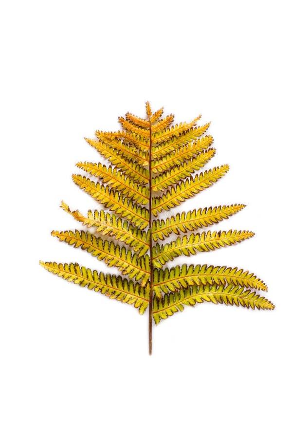 Autumn leaf of fern. Isolated on white background stock photos