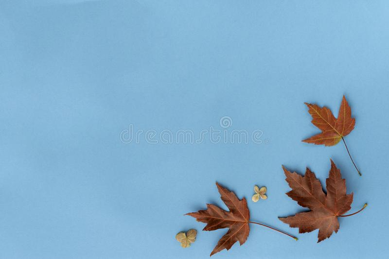 Autumn leaf flat lay composition. Frame from red maple foliage on blue paper background. Autumn concept. Fall leaves design. Top. Autumn leaf flat lay royalty free stock photos