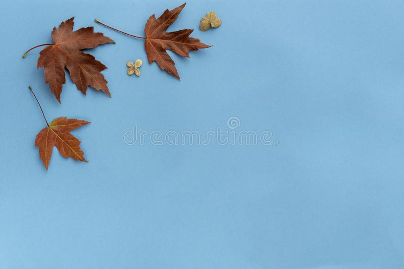 Autumn leaf flat lay composition. Frame from red maple foliage on blue paper background. Autumn concept. Fall leaves design. Top. Autumn leaf flat lay royalty free stock images