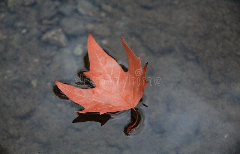 Autumn Leaf Floating na lagoa fotografia de stock
