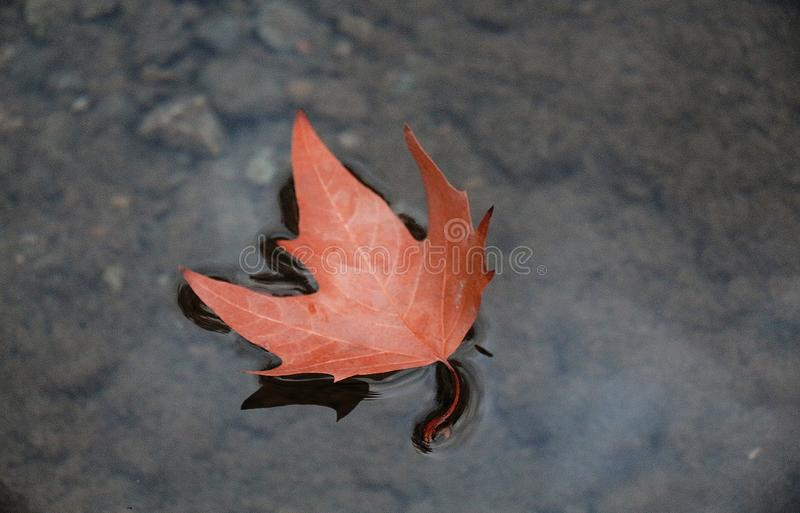 Autumn Leaf Floating on Pond stock photography