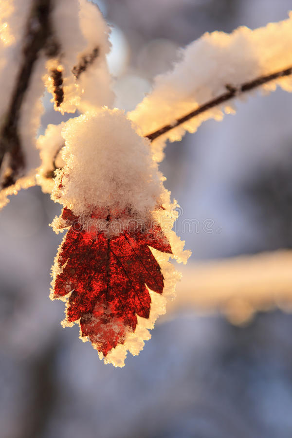 Autumn leaf with frost and snow royalty free stock images