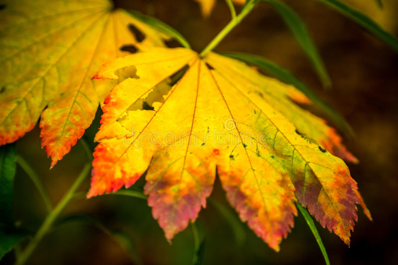Autumn Leaf giallo, Queenswood, Herefordshire fotografia stock libera da diritti