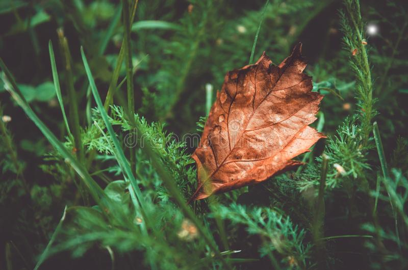 Autumn leaf on green grass background, macro closeup. Fall season, concept. Love nature, symbol. Autumn leaf on green grass background, macro closeup. Fall stock image