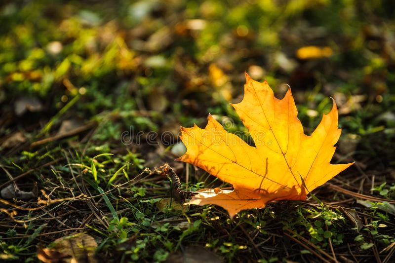 Autumn leaf on green in park. Bokeh effect. Autumn leaf on green grass in park. Bokeh effect stock photos