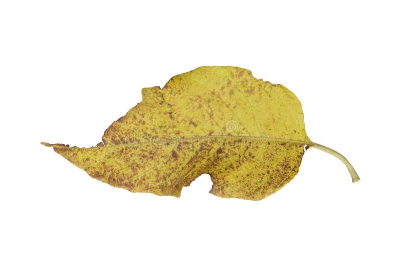 Autumn leaf isolated on white. Background stock photos
