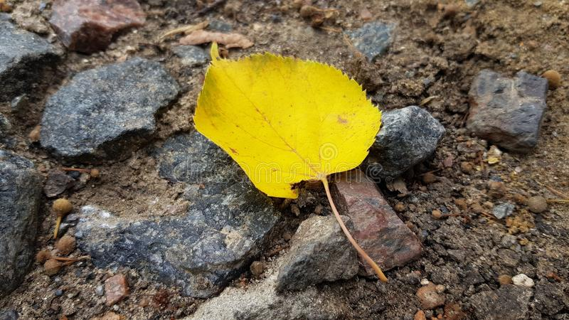 Autumn leaf with jagged edges on wet ground. Single yellow leaf closeup. Autumn leaf with jagged edges on wet ground with granite crushed stones background. Fall stock photos