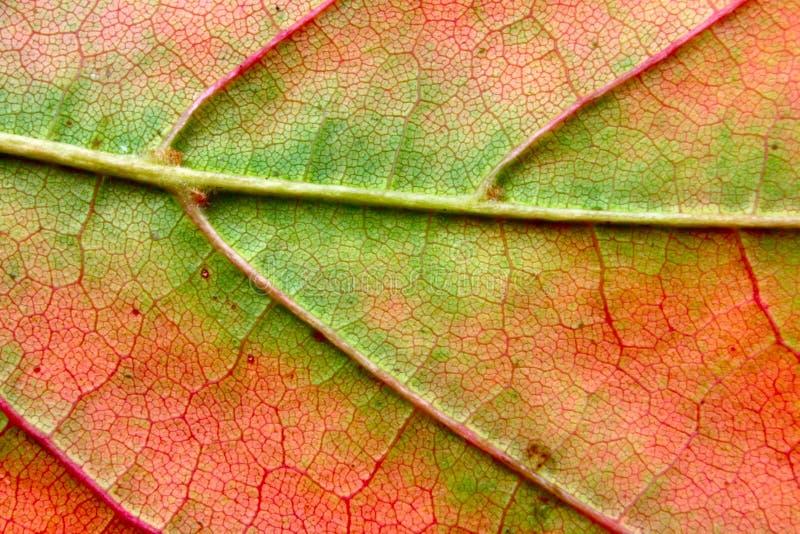 Autumn leaf macro royalty free stock photo