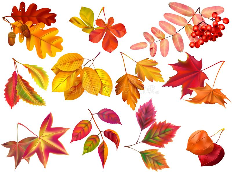 Autumn leaf. Maple fall leaves, fallen foliage and autumnal nature leafage realistic vector set. Autumn leaf. Maple fall leaves, fallen foliage and autumnal royalty free illustration