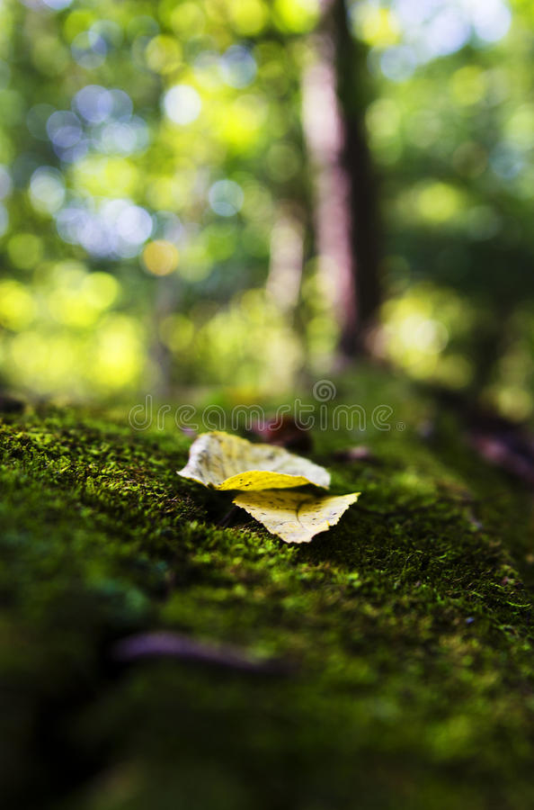 Autumn leaf on moss royalty free stock image