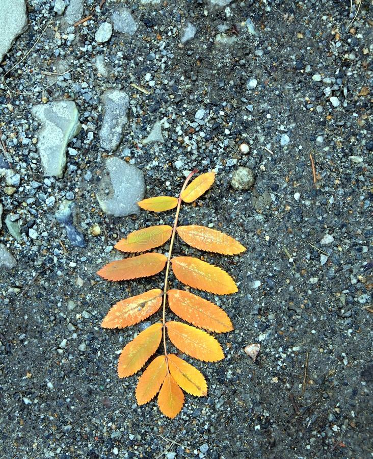 Autumn leaf of a mountain ash on the ground. Single autumn leaf of a mountain ash on the ground stock image