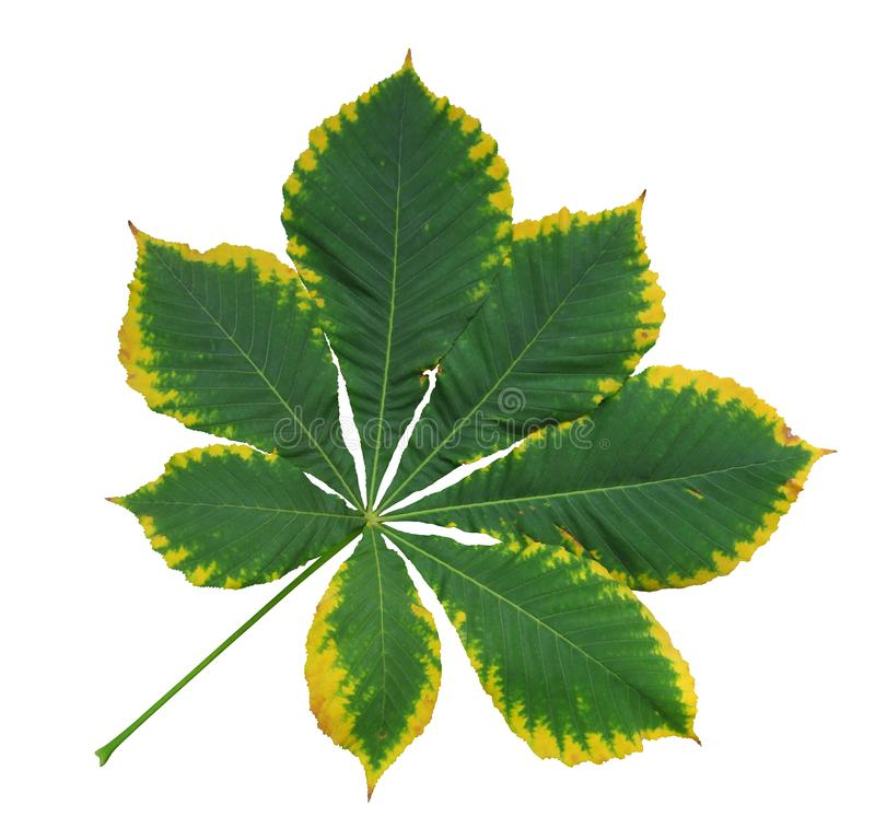 Free Autumn Leaf Of Chestnut Stock Images - 162841074