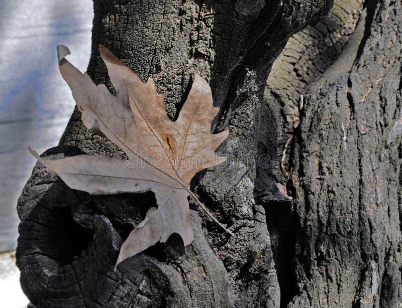 Autumn leaf on the old tree stock illustration