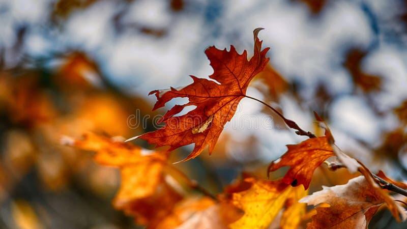 Autumn leaf. A plain tree autumn leaf stock image