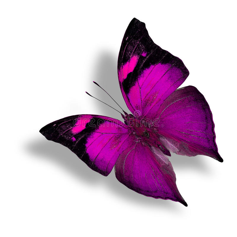 Autumn Leaf in purple fancy color, the beautiful flying butterfly on white background with soft shadow royalty free stock images