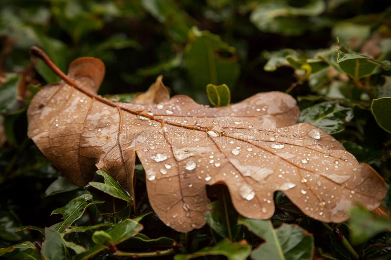 Autumn leaf with raindrops. Shot of autumn leaf with raindrops royalty free stock photography