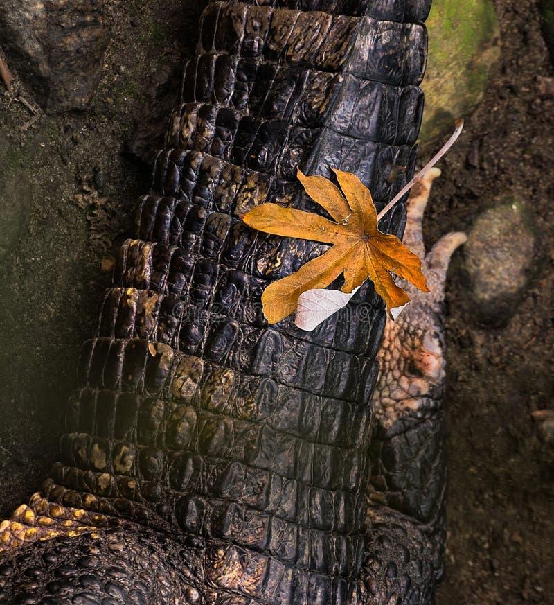 An Autumn leaf on a resting Crocodile stock photos
