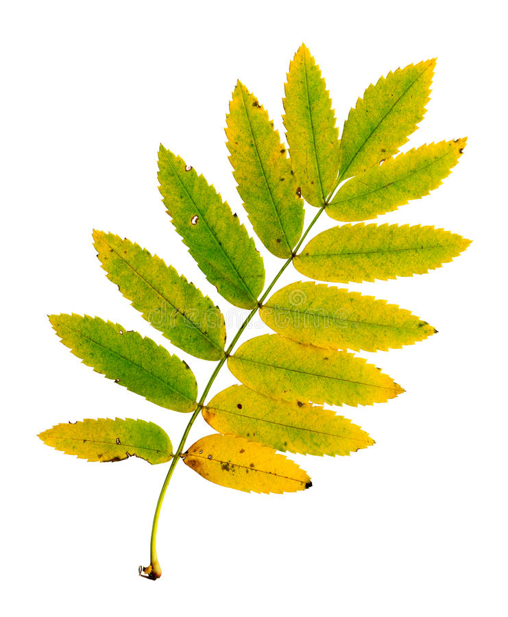 Autumn leaf of a rowan, top surface stock images