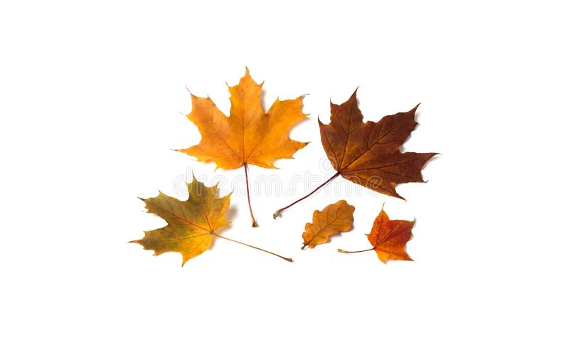 Autumn leaf set on white background. Yellow orange brown leaves maple oak tree. Beautiful autumnal decoration concept. royalty free stock images