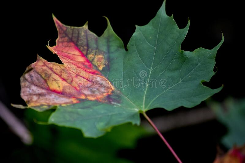 Autumn leaf starting the photosynthesis process. Single autumn leaf starting the photosynthesis process with a dark background stock image