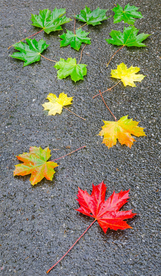 Download Autumn leaf on the street stock image. Image of maple - 26797683